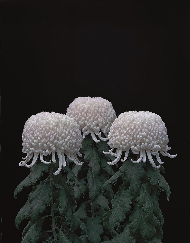 Chrysanthemums (Crisantemos), 2011