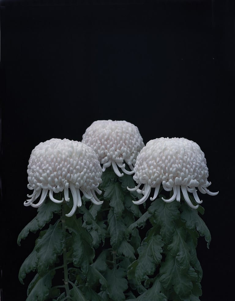 Chrysanthemums (Crisantemos), 2011